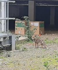 Animal - Fox 2